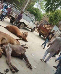 गुजरात में सार्वजनिक स्थलों पर मृत गाय रख कर प्रतिरोध ( फोटो सोशल मीडिया)