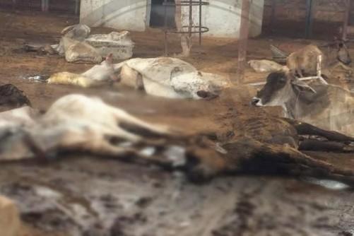 हिंगोनिया गोशाला में पड़ी मृत गाय- फोटो राजस्थान पत्रिका
