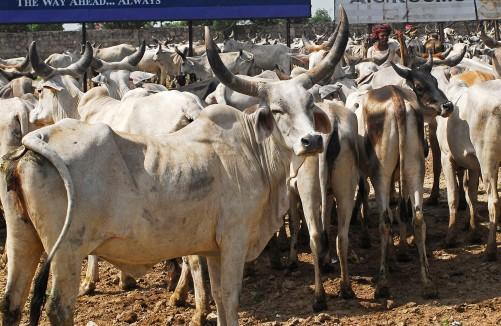 india-cow