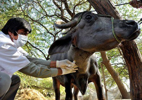900 पशु चिकित्सक की नियुक्ति अंतिम चरण में